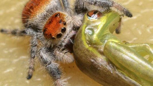 Les araignées sauteuses dévorent des reptiles trois fois plus gros qu'elles