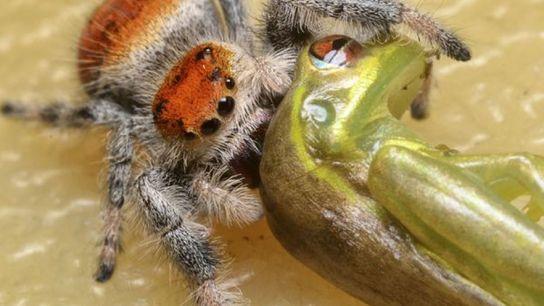 Une araignée sauteuse royale femelle (Phidippus regius) déguste une rainette cubaine (Osteopilus septentrionalis) à Lake Placid, ...