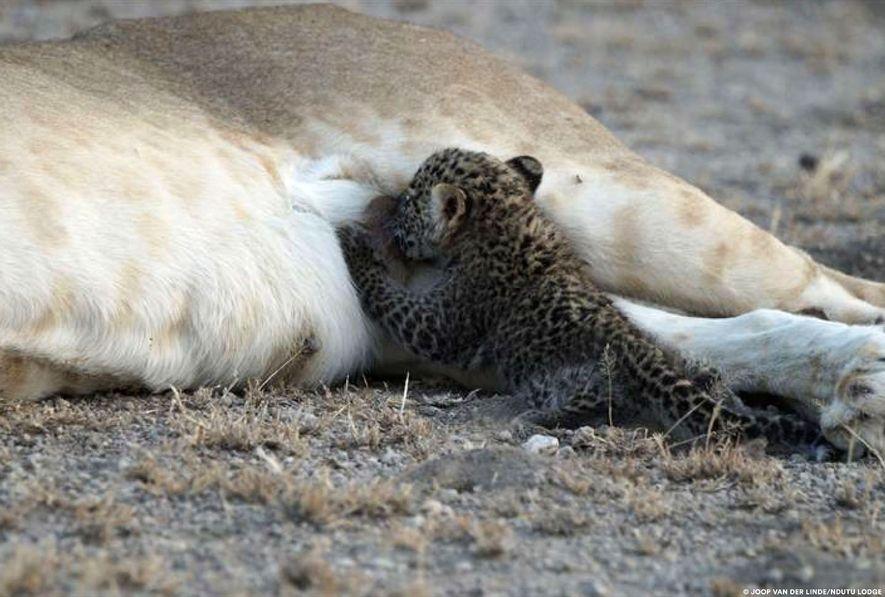 L'instinct maternel de la lionne pourrait avoir pris le dessus sur son instinct meurtrier habituel l'incitant à tuer le bébé léopard.