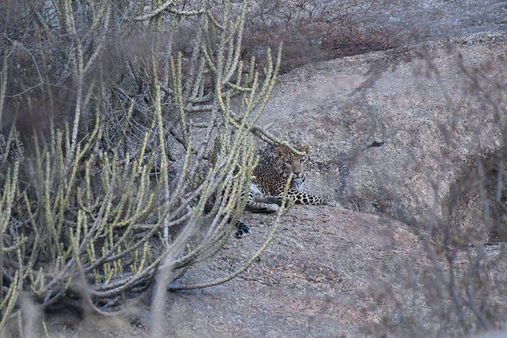Près d'un temple du village, une femelle léopard attend la nuit pour partir à la recherche ...