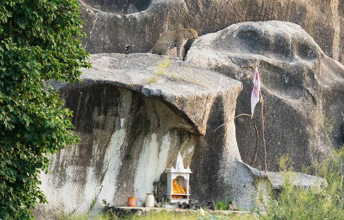 Un léopard est assis au-dessus d'un autel à Bera, où ces grands félins et les Hommes ...
