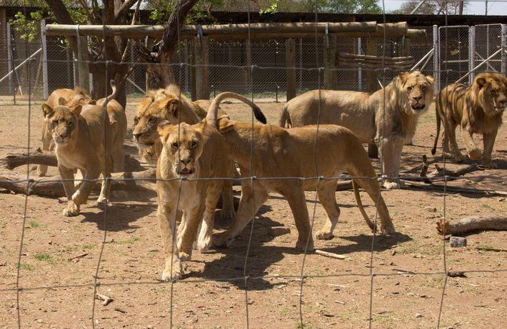 Des lions en cage dans un centre d'élevage en Afrique du Sud. Pas moins de 8 ...
