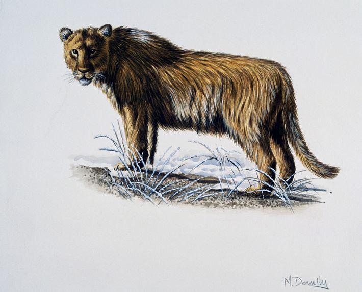 Les Panthera leo spelaea ne possédaient pas de crinières, ce qui les rendait peut-être peu désirables ...