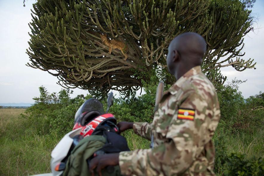 Jimmy Kisembo, un officier de l'autorité ougandaise de la faune, observe une lionne. Celle-ci est morte ...