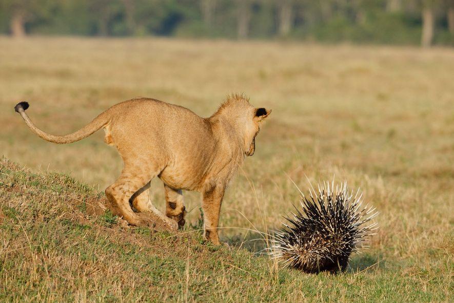 Les lions qui attaquent les porcs-épics sont souvent de jeunes mâles, comme c'est le cas ici ...