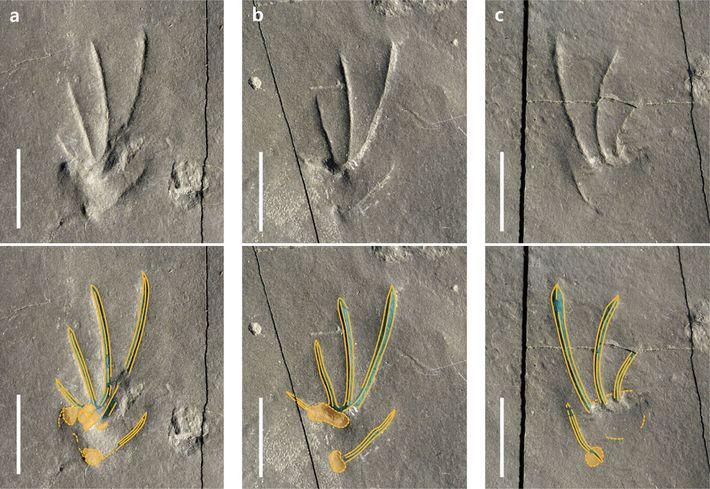 À l'image de nombreux lézards contemporains, le lézard à l'origine de ces empreintes avait des pattes ...