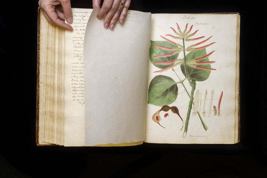 Ce dessin du manuscrit de Wollstonecraft montre une fleur d'un membre de la famille des Erythrines, ...