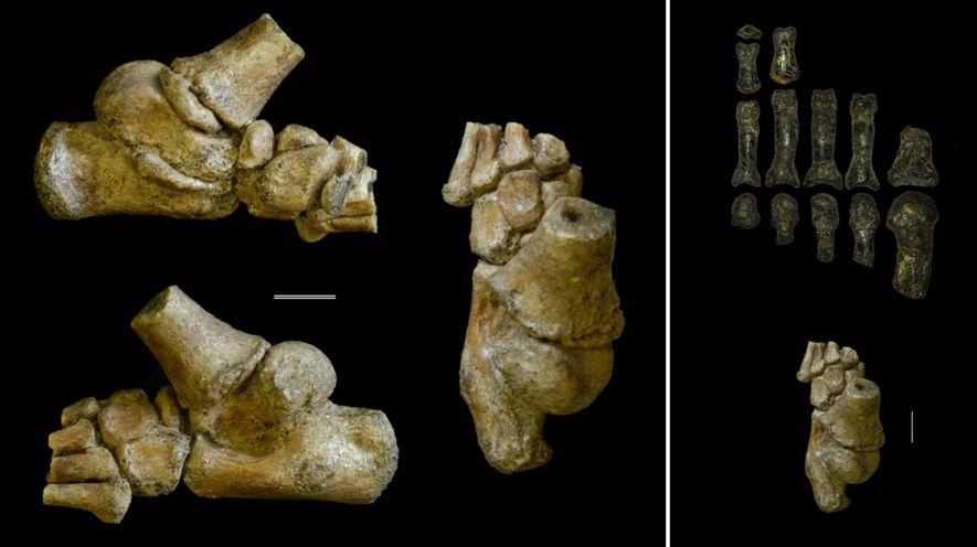Images de gauche : vue de différents angles du pied d'un Australopithecus afarensis enfant qui a ...