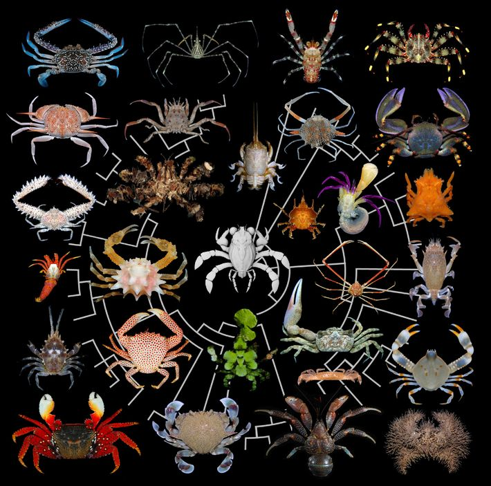 Les crabes d'autrefois et d'aujourd'hui, notamment l'énigmatique Callichimaera perplexa (au centre), laissent apparaître une étonnante diversité ...