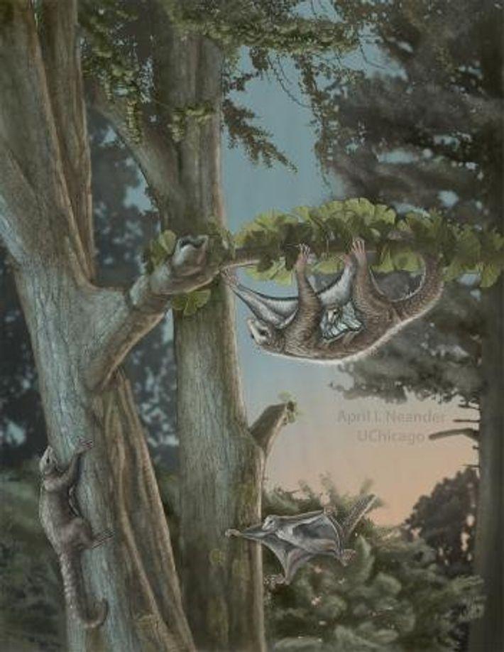 Une illustration montre comment le Maiopatagium se balançait probablement dans les arbres du Jurassic.