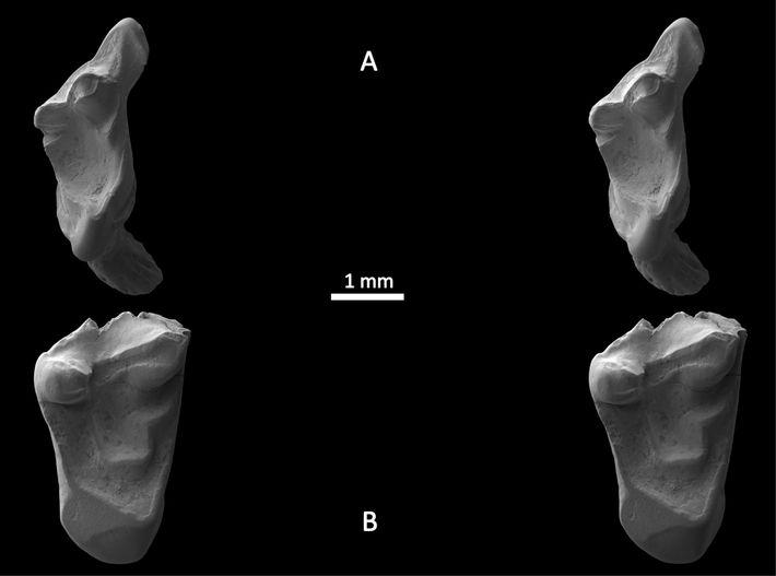 Les dents fossilisées d'un mammifère observées au microscope.