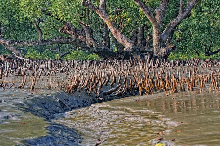 Les mangroves constituent un rempart contre les tempêtes violentes et la montée des eaux. Alors que ...