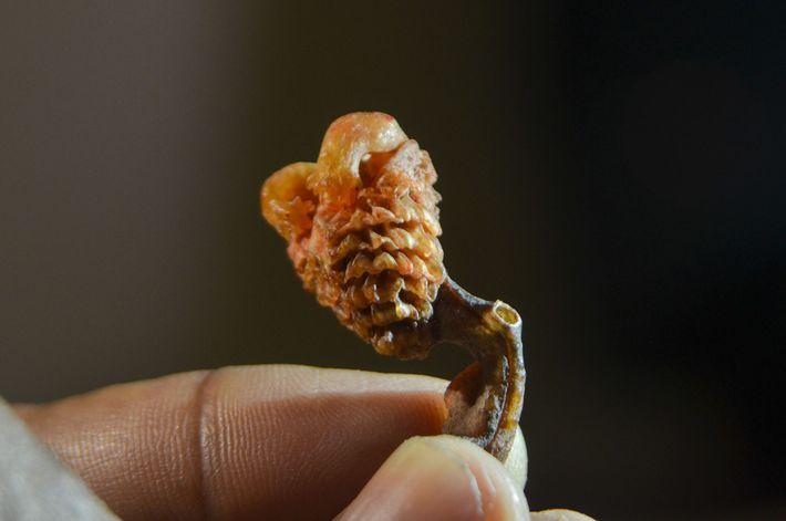 Dans des boutiques en Inde et sur Internet, des pénis séchés de varans mâles sont vendus ...