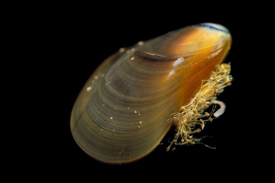 Un cancer qui s'est développé chez les moules de l'espèce Mytilus trossulus a fini par se ...