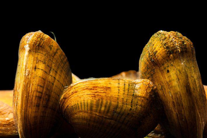 Cette moule de l'espèce Epioblasma brevidens est en danger d'extinction, elle a ici été photographiée au ...