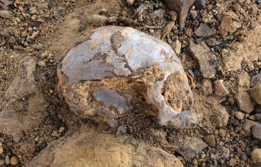 Le crâne de N. alesi, partiellement extrait du sol après un retrait prudent du sable meuble et des roches, à l'aide de cure-dents et de brosses.