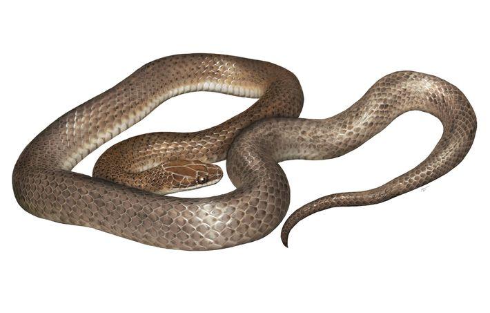 Vue d'artiste représentant la nouvelle espèce, Cenaspis aenigma, qui peut se traduire par « mystérieux serpent ...