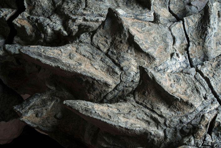 Le cou du nodosaure était couvert de plaques plus épineuses que celles qui composent l'armure sur ...
