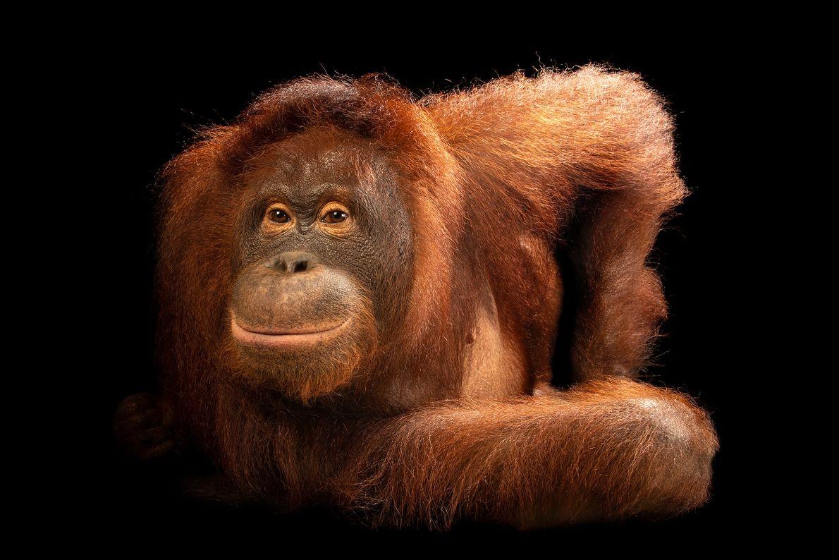 Cet animal est un orang-outan de Bornéo central. Le nombre d'orangs-outans de Bornéo a été réduit ...
