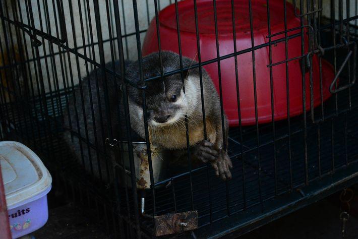 Pour rester en bonne santé en captivité, les loutres ont besoin d'une alimentation très spécifique. Enfermée ...