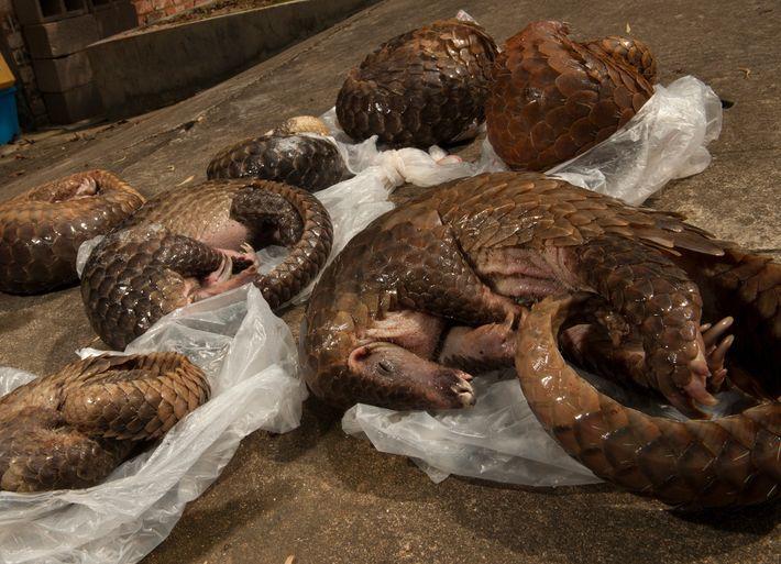 Ces six pangolins javanais (Manis javanica) ont été saisis dans un immeuble à Guangzhou, en Chine. ...