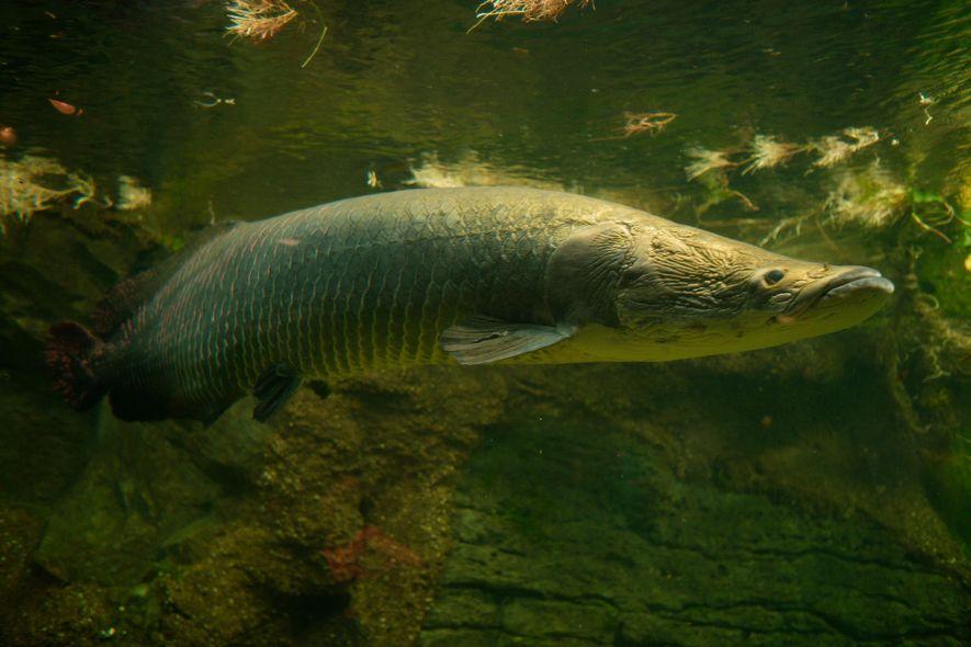 Évoluant dans les eaux du bassin amazonien, l'arapaïma est l'un des plus grands poissons d'eau douce. ...