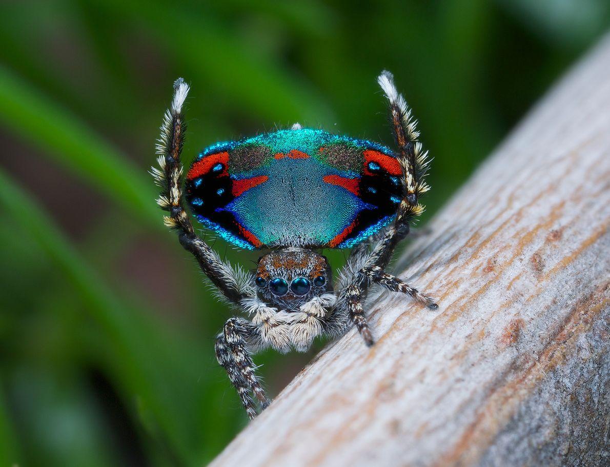 Une araignée Maratus avibus fait étal de sa palette de couleurs noir, rouge et bleu pour ...