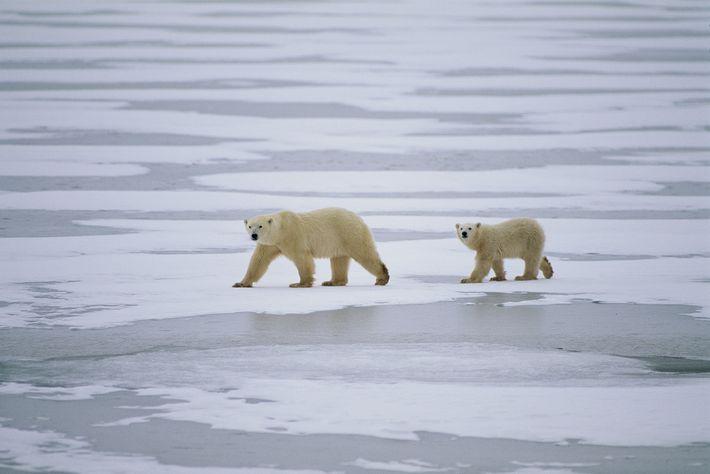 Près de deux tiers de la population mondiale d'ours polaires se trouve au Canada, où se ...