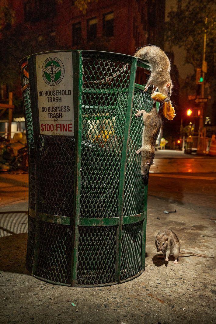 Avant la pandémie du coronavirus, on voit des rats pullulerautour d'une poubelle au sud de Manhattan. ...