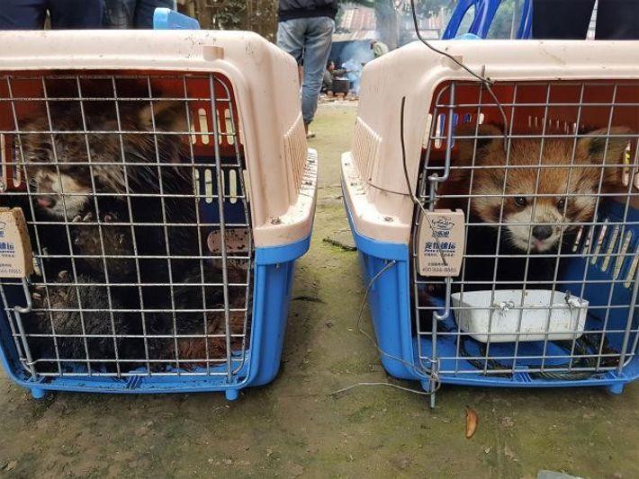 Deux des pandas sauvés par l'association Free the Bears.