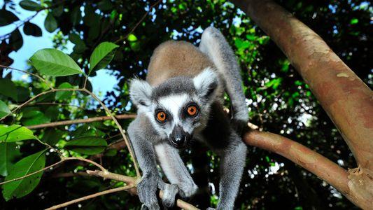 Près de 95 % des lémuriens seraient menacés d'extinction