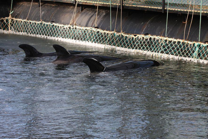 """Les orques capturés à l'état sauvage sont également confinés dans ces enclos. La peau de la plupart d'entre eux est """"densément ensemencée de micro-organismes variés"""", explique un vétérinaire à qui l'accès a été autorisé pour effectuer des prélèvements."""