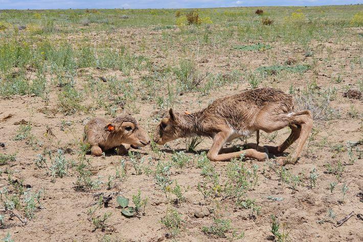 Deux des plus de cinq cent juvéniles nés ce printemps dans le plateau d'Ustyurt, au Kazakhstan, ...