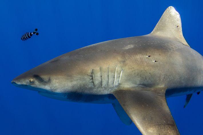 Sur cette photo du requin longimane, on aperçoit les marques de succion de la taille de ...
