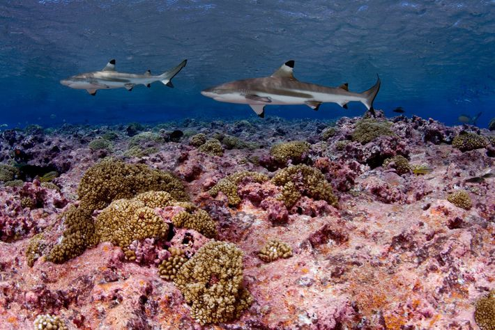 Un requin à pointes noires évolue dans les eaux de Kiribati, au beau milieu de l'océan ...
