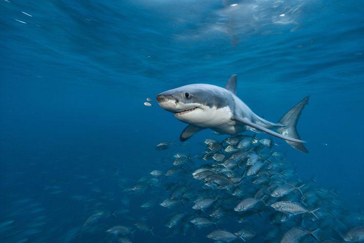 Un grand requin blanc (Carcharodon carcharias) nage au large des îles Neptune au sud de l'Australie. Jadis, ...