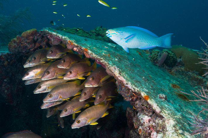Les poissons nagent dans les vestiges du Benwood, un navire qui a coulé au large de ...