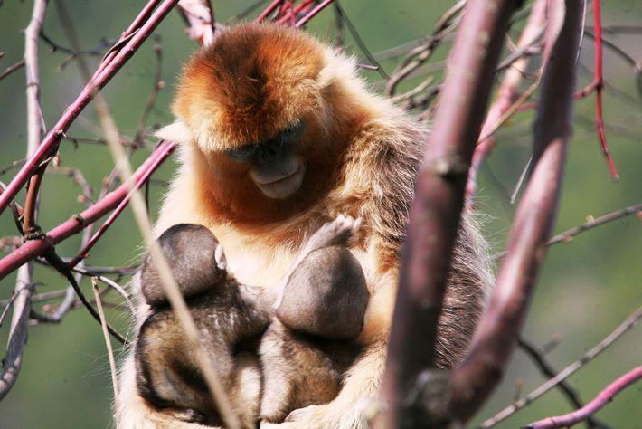 Les chercheurs chinois étudiaient ces singes depuis plusieurs années lorsqu'ils ont remarqué une femelle allaitant deux ...