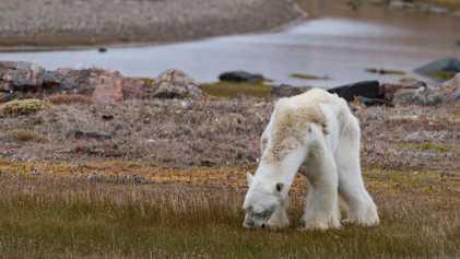 Notre photographe explique pourquoi elle ne pouvait pas aider l'ours polaire