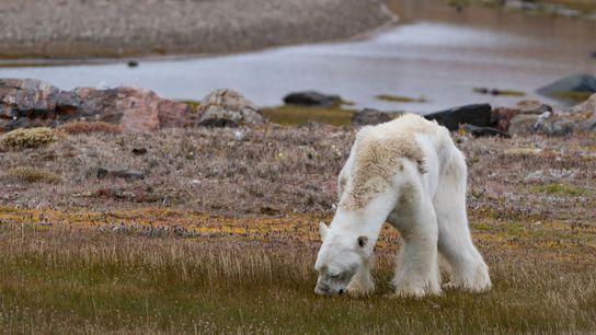 Comme le groupe de défenseurs Sea Legacy l'a observé, cet ours était obligé de faire les ...