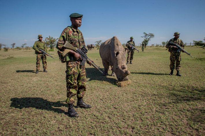 Un peloton armé veille sur Sudan, l'un des derniers rhinocéros blancs du nord. Celui-ci est arrivé ...