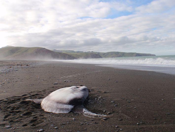 Une môle trompeuse (Mola tecta) échouée sur la plage de Birdlings Flat, au sud de Christchurch ...