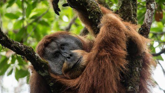 Cinq personnalités alertent les pouvoirs publics sur le devenir des grands singes