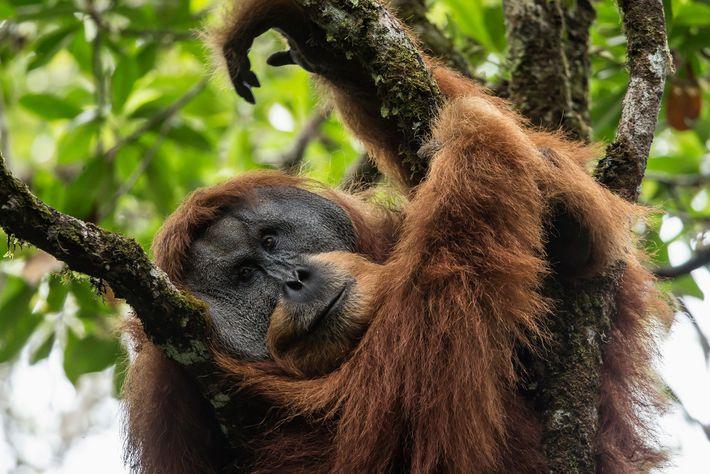 Les singes de Batang Toru sont plus étroitement liés génétiquement aux orang-outans de Bornéo qu'aux orang-outans ...