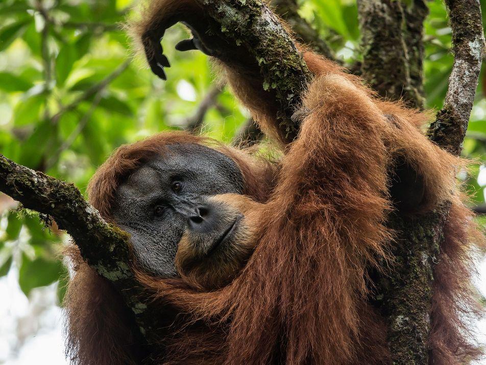 L'orang-outan de Tapanuli : le singe le plus rare au monde
