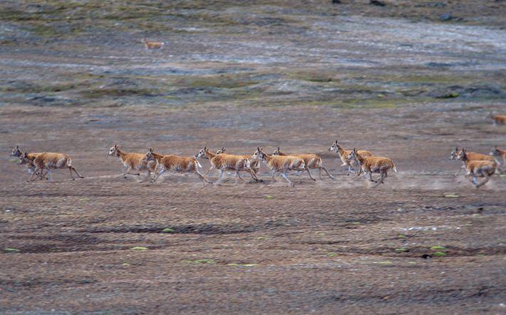 En pleine course, un troupeau d'antilopes du Tibet soulève la poussière dans la province chinoise du ...
