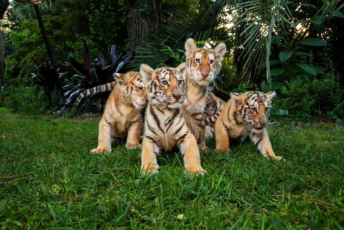 De petits tigres et ligres (né d'une mère tigre et d'un père lion) prennent la pose ...