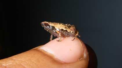 Cette nouvelle espèce de grenouille est la plus petite au monde