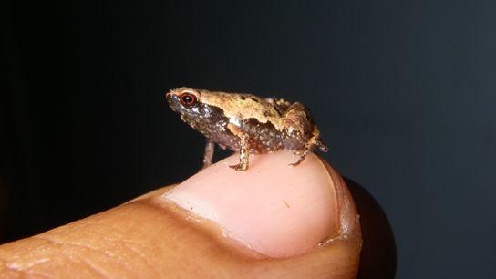 Un mâle adulte « Mini mum », l'une des plus petites grenouilles au monde, confortablement installée ...