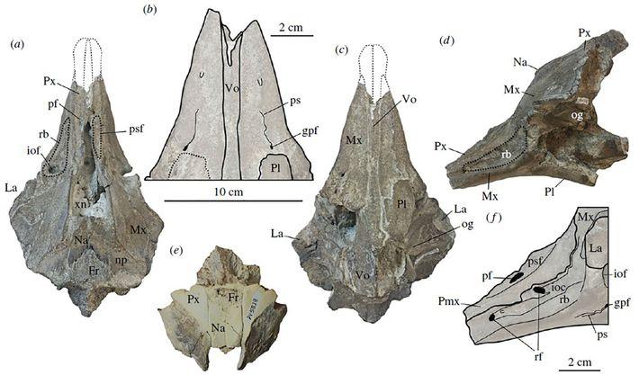 Ce schéma illustre le crâne fossilisé de cette nouvelle espèce de dauphin, dont son museau plus ...